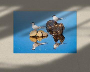 Küstenseeschwalbe mit Spiegelbild von Merijn Loch