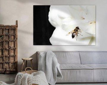 Bienenfliege auf einer fleißigen Leiste von hetty'sfotografie