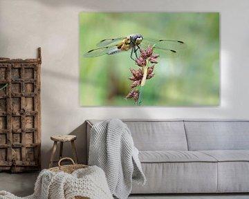 Vier-Punkt-Libelle auf Pflanze von Petra Vastenburg