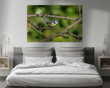 Bunte Blaumeise im Baum von cuhle-fotos