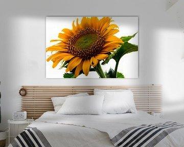 Sonnenblume von Devlin Jacobs