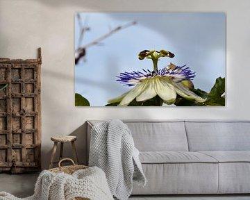 Nahaufnahme einer Passionsblume mit einem klaren blauen Himmel als Hintergrund von Robin Verhoef