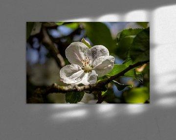 Der alte Apfelbaum von Harald Schottner