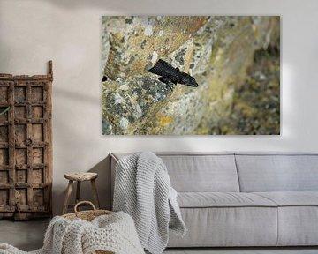 Zwarte Hagedis Zuid Afrika van Merijn Loch