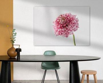 Krätzeblume von Gerard De Mooij