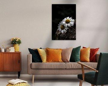 Wilde Gänseblümchen
