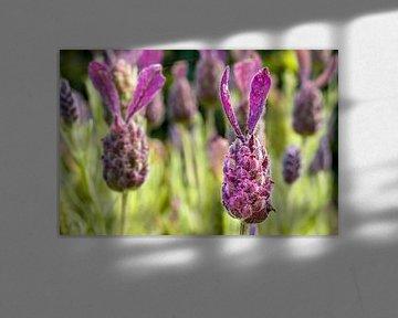 Lavendel in de zon van Mickéle Godderis
