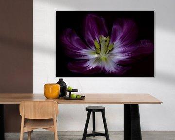 Tulpenstampfer in Blüte von Devlin Jacobs
