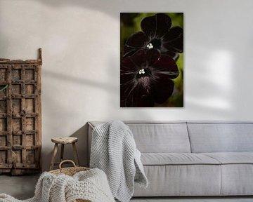 Schwarze Petunie von FotoGraaG Hanneke