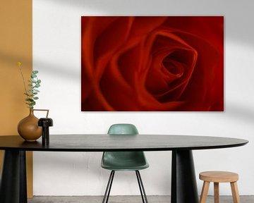 Rose, Blume der Liebe von Danny Vandebosch