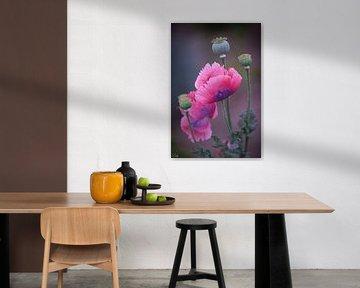 Roze klaprozen (papaver)