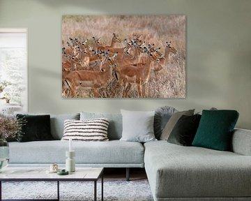 Groupe Impalas sur Koolspix