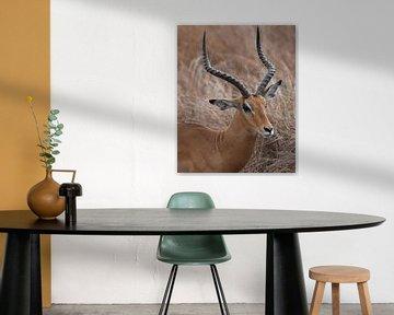 Impala männlich von Koolspix