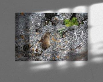 Murmeltier auf dem Tafelberg von Quinta Dijk