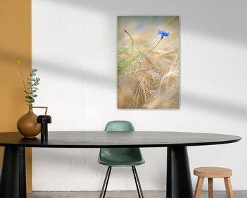 Korenbloem in een korenveld van Silvio Schoisswohl