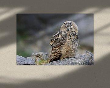 Uhu ( Bubo bubo ), Jungvogel, zwinkert dem Fotografen zu, lustiger Aufnahmemoment, Situationskomik,  von wunderbare Erde
