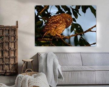 Steinkauz ( Athene noctua ), flügger Jungvogel im frühen Morgenlicht, wildlife, Europa. von wunderbare Erde