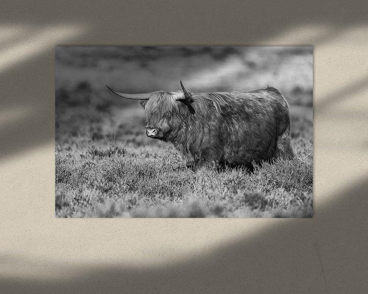 Sfeerimpressie: Schotse Hooglander van Menno Schaefer