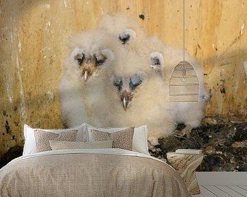 Kerkuilen ( Tyto alba ), kuikens, jonge vogels in het nest, dieren in het wild, Europa. van wunderbare Erde