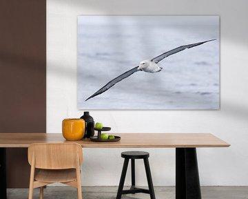 Salvins Albatros von Rick van der Weijde