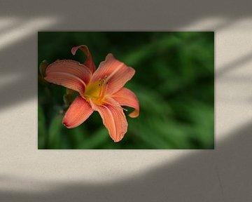 Orangene Taglilie vor grünem Hintergrund von Ulrike Leone