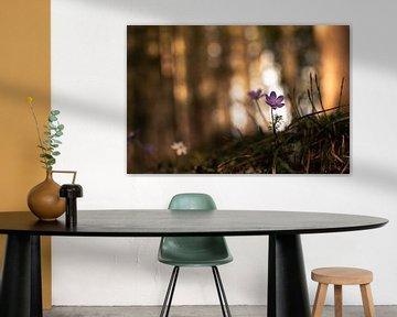 Leberblümchen im Frühlingswald von Yvonne Albe