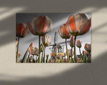 Tulpen bij windmolen