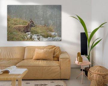 Steinbock / Alpensteinbock ( Capra ibex ), Jungtier, ruht im Gras um wiederzukäuen, wildlife, Europa von wunderbare Erde