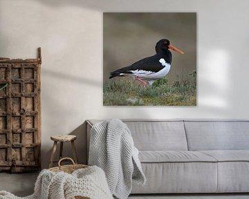 Austernfischer ( Haematopus ostralegus ), Charaktervogel in den Dünen und auf Feuchtwiesen, wildlife von wunderbare Erde