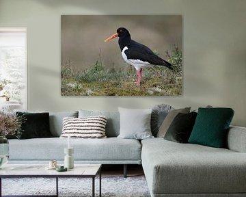 Austernfischer ( Haematopus ostralegus ), Charaktervogel an der Nordsee und auf Feuchtwiesen, wildli von wunderbare Erde