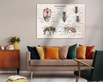 Honingbij - anatomie koningin en werkster van Jasper de Ruiter