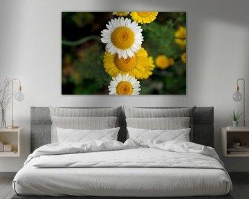 gelbe und weiße Margeriten von cuhle-fotos