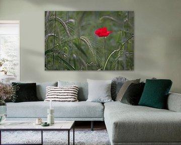 Eine Mohnblume zwischen den Körnern von Eric Wander