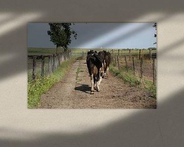 Koeien op weg naar stal van Monique Meijer