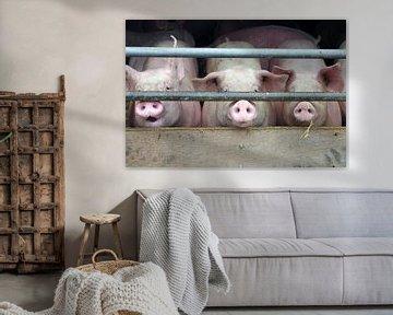 Drei  Schweine im Stall von cuhle-fotos