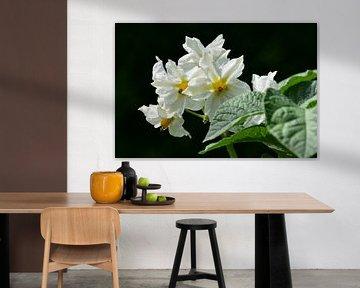 Aardappel bloesem / Potato blossom van Henk de Boer