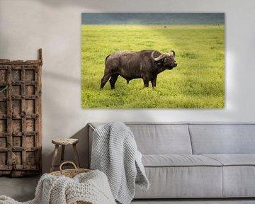 Afrikaanse buffel in de Ngorongoro krater van OCEANVOLTA