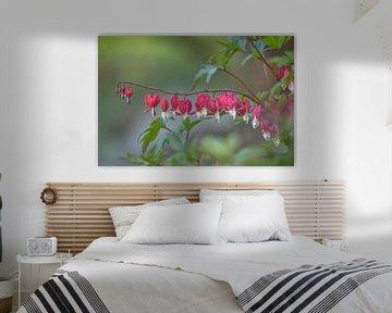 Gebroken hartje (Lamprocapnos spectabilis) - Bleeding heart flower van Eric Wander