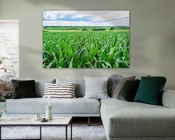 Maislandschap in zuid-limburg van george vogelaar