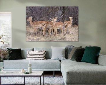 Impala's in Botswana van Job Moerland