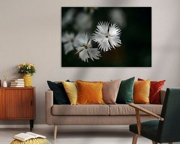 White flower of Dianthus arenarius against a dark background with copy space, close-up, selected foc von Maren Winter