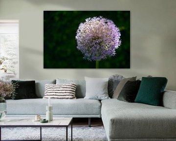 Star of Persia or Persian onion (Allium cristophii) flower head in backlight against a dark green ba von Maren Winter