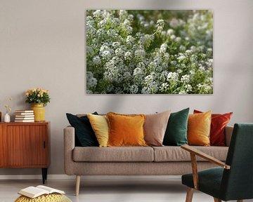 Weiße Blüten von Iberis sempervirens, allgemein Candytuft genannt, eine immergrüne Bodendeckerpflanz von Maren Winter
