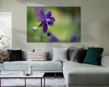 Blauviolette Blüte der im Garten blühenden Europäischen Akelei (Aquilegia vulgaris), grüner Hintergr von Maren Winter