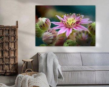 Sedum mit kleiner rosa Blüte von Rietje Bulthuis