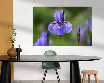 blaue Blüte der im Garten blühenden Iris sibirica, grüner Hintergrund mit Kopierraum, ausgewählte Sc von Maren Winter