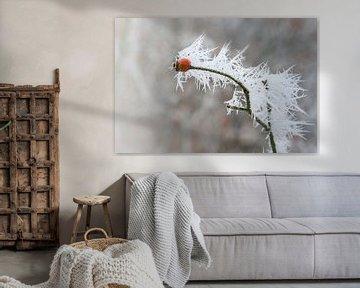 Hagebuttenzweig mit langen gefrorenen Eisnadeln vom Rauhreif im Winter, Kopierraum, ausgewählter Fok von Maren Winter