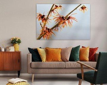 branche d'hamamélis en fleur d'oranger, plante médicinale Hamamélis sur fond gris avec espace de cop