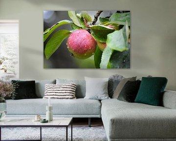 roter reifer Apfel mit Wassertropfen am Baum, Erntezeit im Herbst, ausgewählter Schwerpunkt von Maren Winter