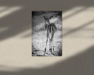 Impala, einfarbig, Krüger Park Südafrika von Carmen de Bruijn